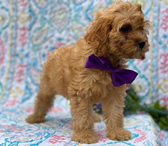 Ruby - Cavapoo pup for sale near Honeybrook, Pennsylvania