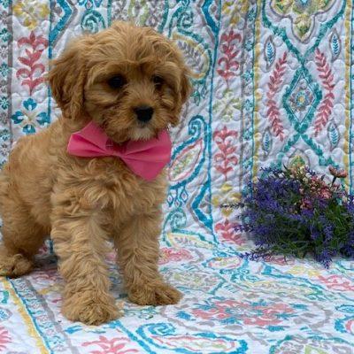 Arlow - male Cavapoo puppy for sale at Honeybrook, Pennsylvania