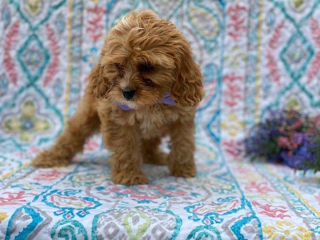 Toffee - Cavapoo doggie for sale in Honeybrook, Pennsylvania