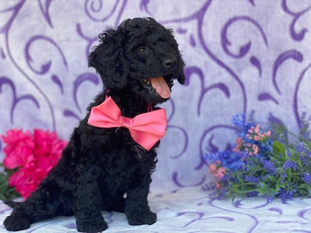 Gwen - Mini Double Doodle pupper for sale in Christiana, Pennsylvania
