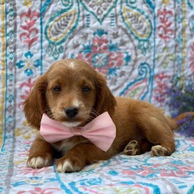 Pinky - Labradoodle f1b mini puppy for sale at Honeybrook, Pennsylvania
