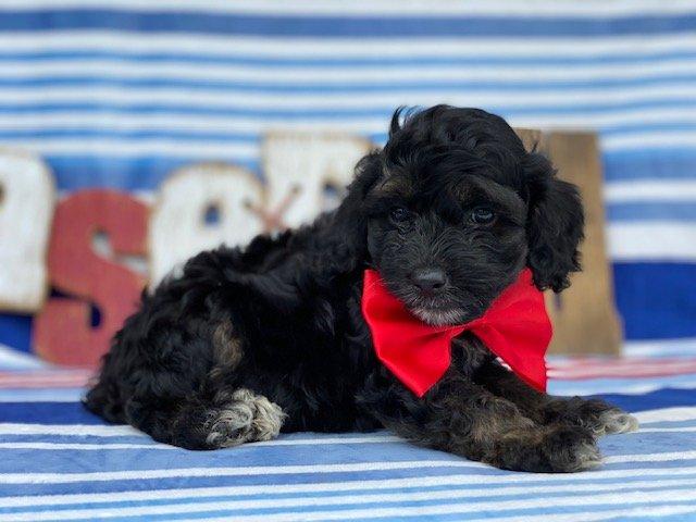 Bingo - Cockapoo puppie for sale at Kirkwood, Pennsylvania