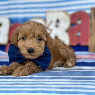 Scooter - Cockapoo doggie for sale near Kirkwood, Pennsylvania