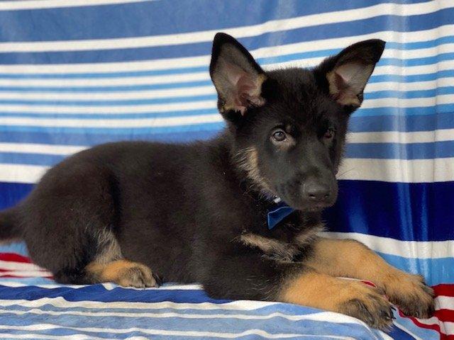Zeus - male German Shepherd puppy for sale in Nottingham, Pennsylvania