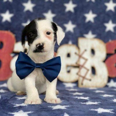 Bo - Jackapoo puppie for sale near Delta, Pennsylvania