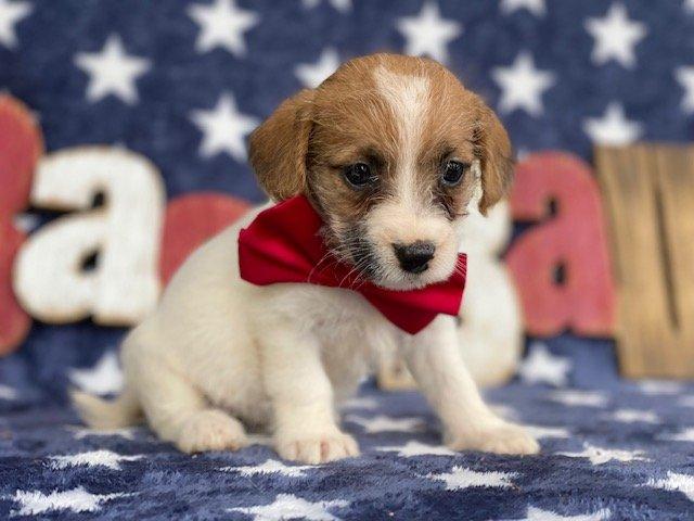 Boomer - Jackapoo pup for sale near Delta, Pennsylvania