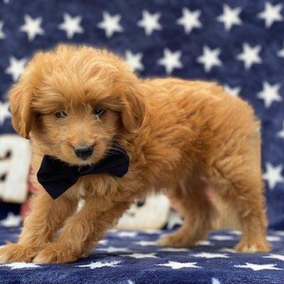 Murphy - f1mini Eskapoo puppy for sale in New Providence, Pennsylvania