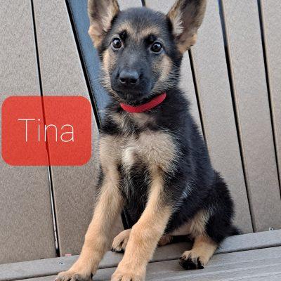 Tina - female AKC German Shepherd puppie for sale near Grabill, Indiana