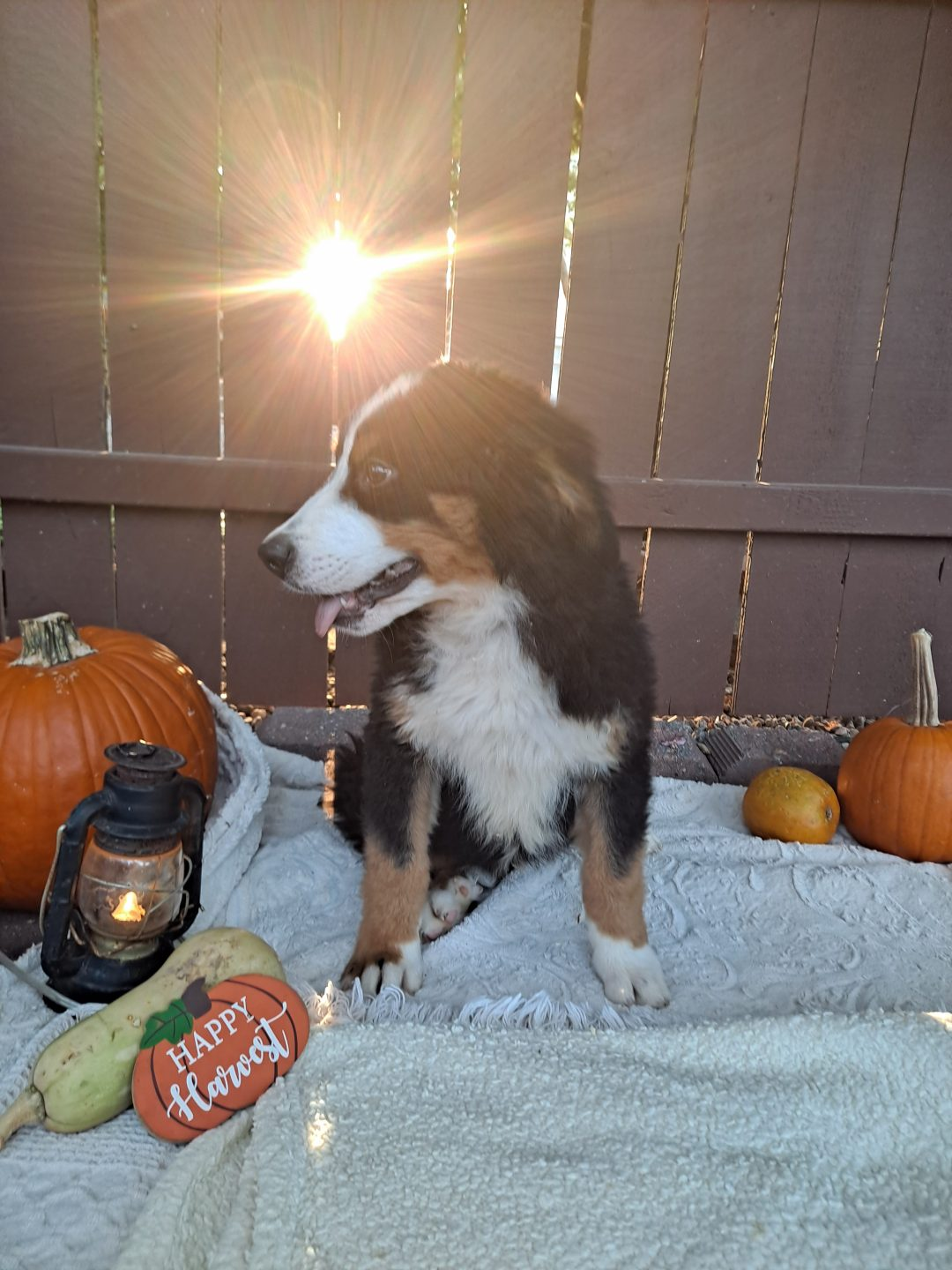 Kayne - AKC Bernese Mountain male pup for sale at Grabill, Indiana