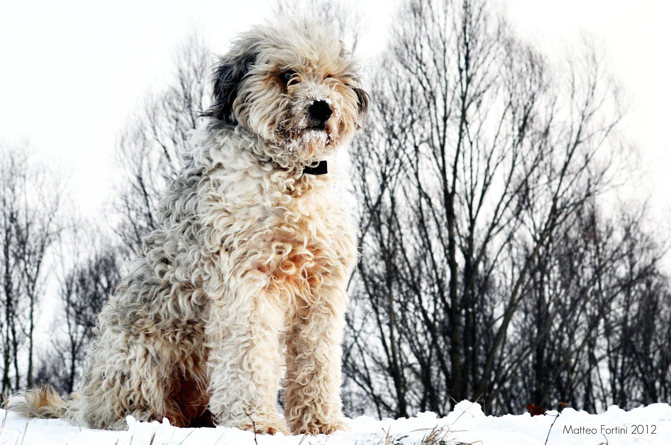Bergamasco dog in snow