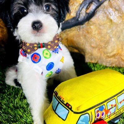 BabyOreo - Maltipoo male doggie for sale near Houston, Texas