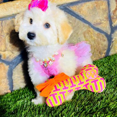 FluffyDoll - Maltipoo female puppy for sale in Houston, Texas