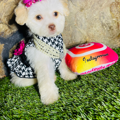 MissLovely, Adorable Female Maltipoo Puppy Ready!