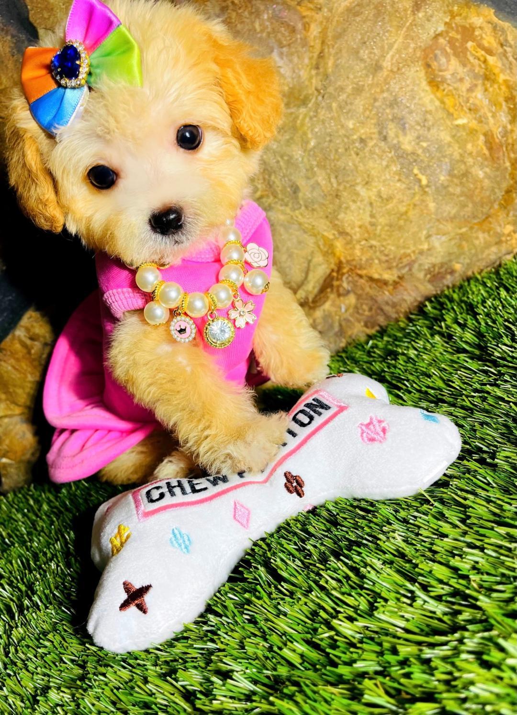 PetitePrincess, Adorable apricot female Maltipoo puppy!