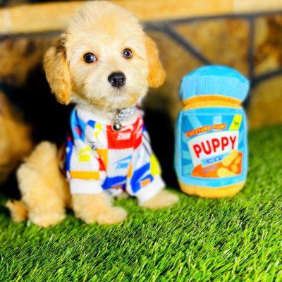 NikeyBear, Adorable Champagne Male Maltipoo Puppy!