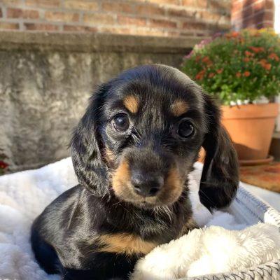Miniature Longhair Dachshund Puppy