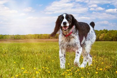 English Springer Spaniel Breed – Here's what to know before bringing one home!