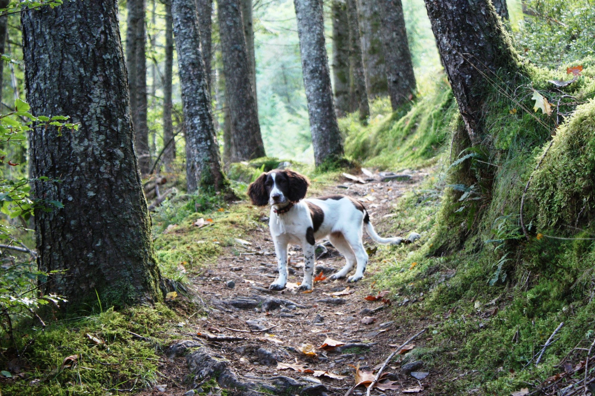 English Springer Spaniel puppy on a train in the woods.
