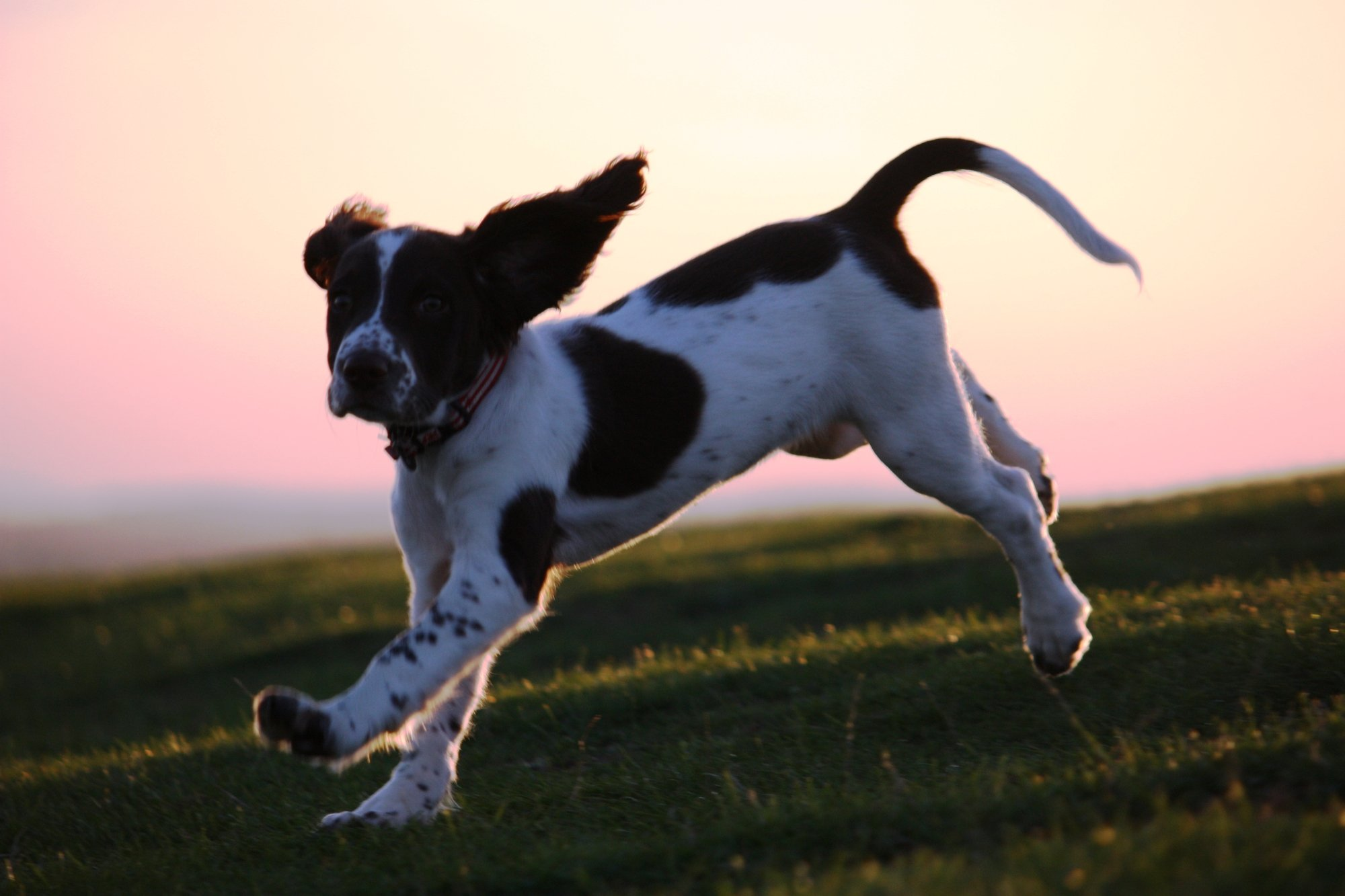 English Springer Spaniel puppy running outdoors with a sunset in the background.