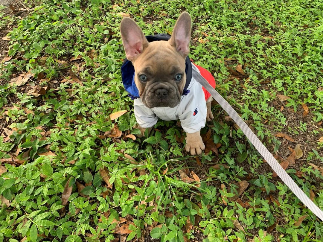 Simba Stunning Blue Fawn French Bulldog puppy for sale in the Tampa, Florida