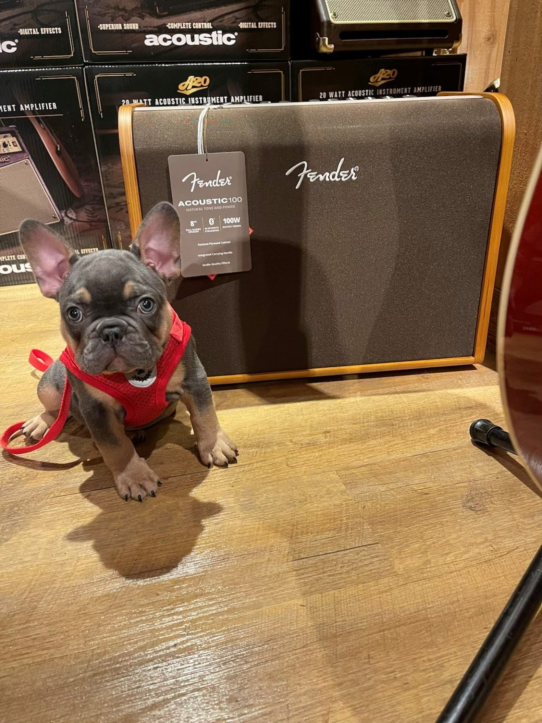 Thumper French Bulldog Rare Blue Tan Points puppy for sale in the Tampa, Florida