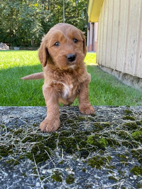 Cannoli - Goldendoodle male puppy for sale at Ellington, Connecticut