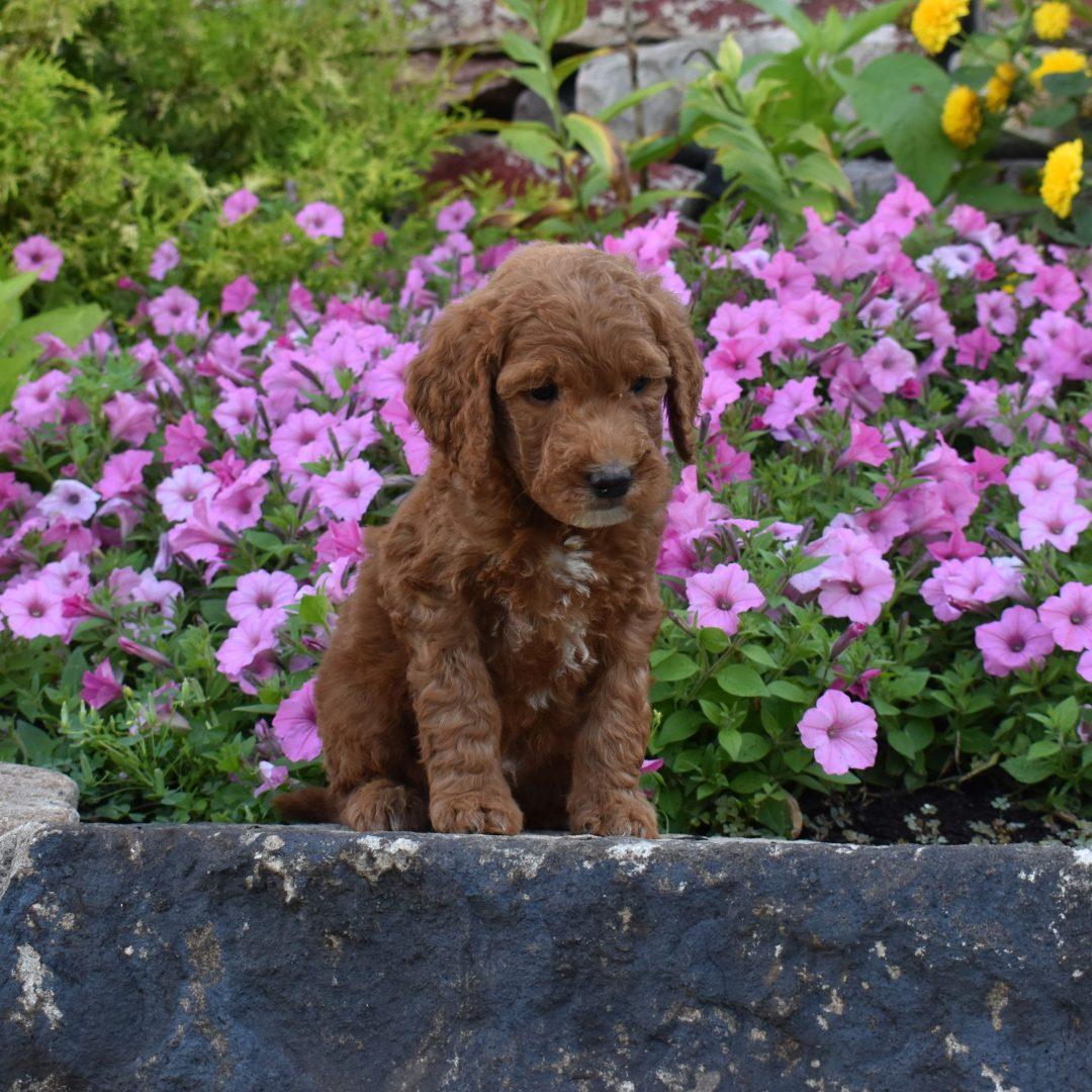 AJ - f1b Mini Goldendoodle puppy for sale in Millersburg, Pennsylvania
