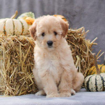 Addie - F1b Mini labradoodle pupper for sale near Lititz, Pennsylvania