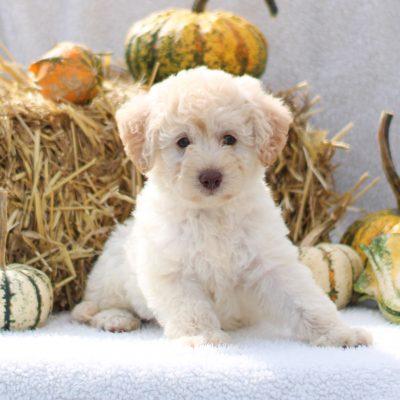 Adele - F1b Mini labradoodle pup for sale at Lititz, Pennsylvania