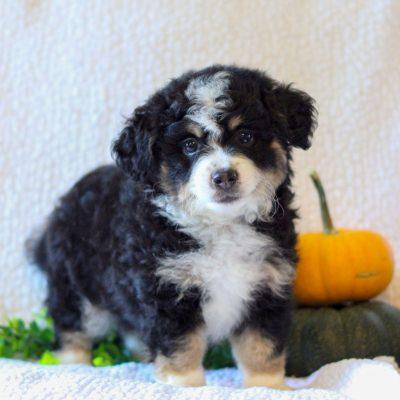 Alex - Micro Mini Bernedoodle doggie for sale in Narvon, Pennsylvania