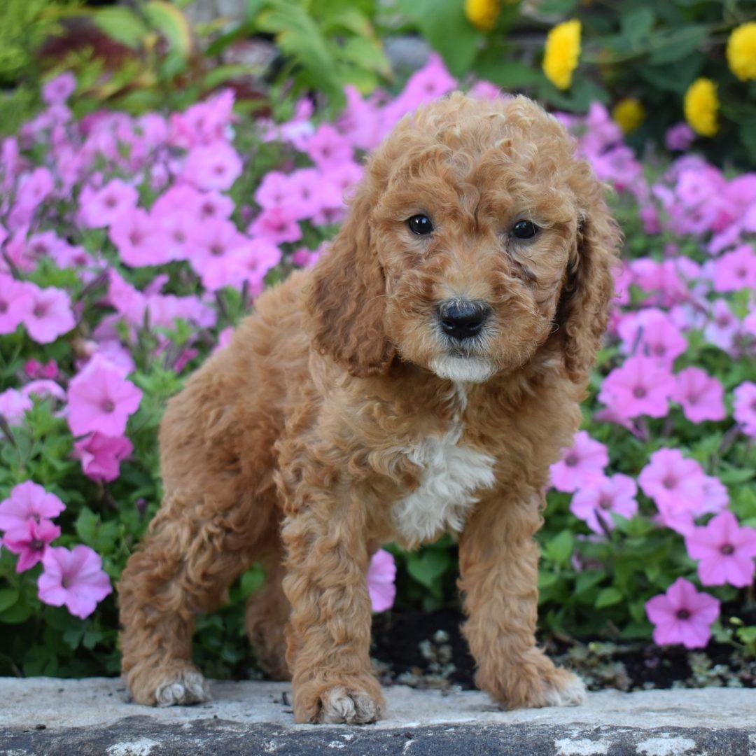 Alex - f1b Mini Goldendoodle pup for sale at Millersburg, Pennsylvania