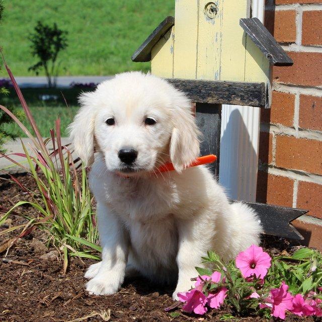 Amber- English Cream Golden Retriever puppy for sale near New Providence, Pennsylvania
