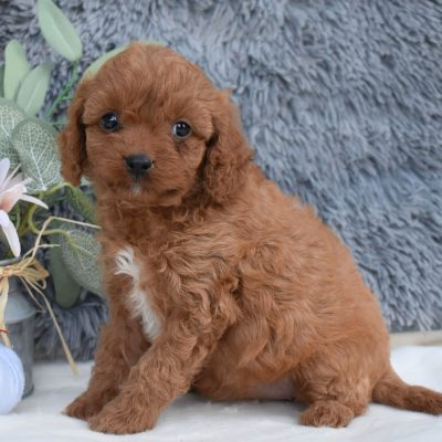 Angela - F1 Cavapoo puppie for sale in Middleburg, Pennsylvania