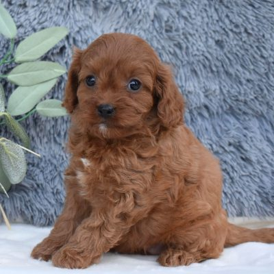 Angeline - doggie F1 Cavapoo for sale at Middleburg, Pennsylvania