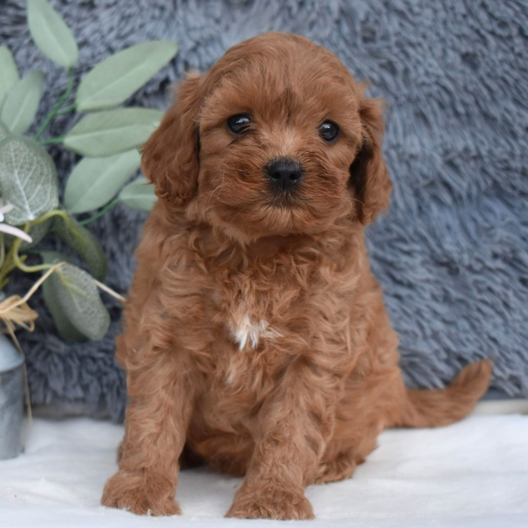 Anton - F1 Cavapoo pup for sale in Middleburg, Pennsylvania