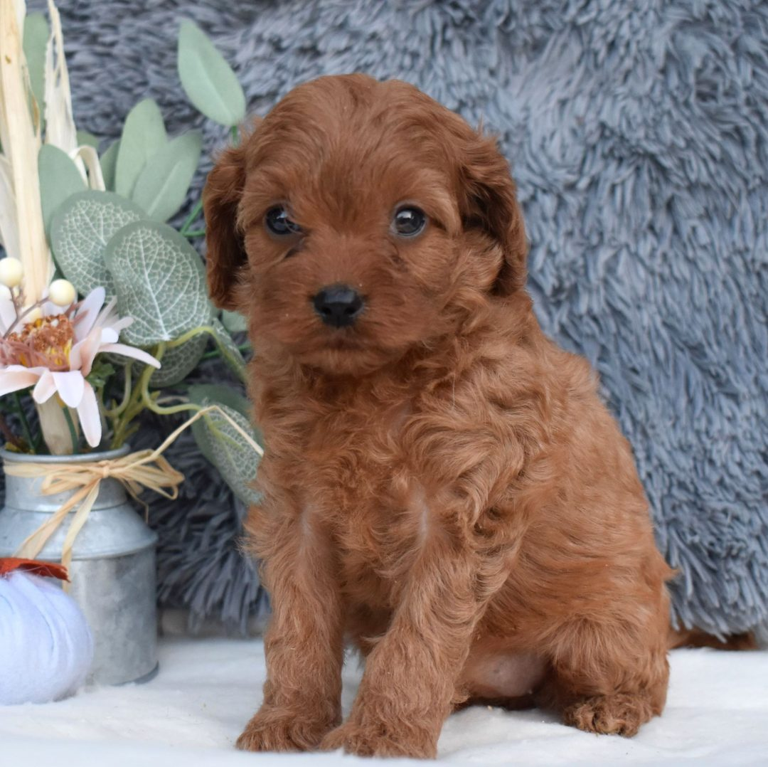 Anya - F1 Cavapoo puppy for sale near Middleburg, Pennsylvania