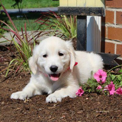 Ashley - female English Cream Golden Retriever doggie for sale at New Providence, Pennsylvania