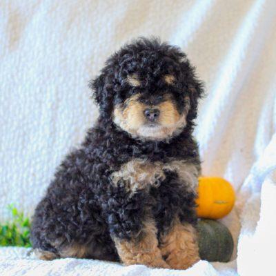 Austin - Micro Mini Bernedoodle puppie for sale near Narvon, Pennsylvania