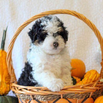 Autumn - Micro Mini Bernedoodle pupper for sale at Narvon, Pennsylvania