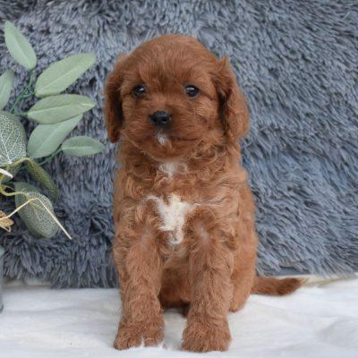 Avah - F1 Cavapoo puppy for sale near Middleburg, Pennsylvania