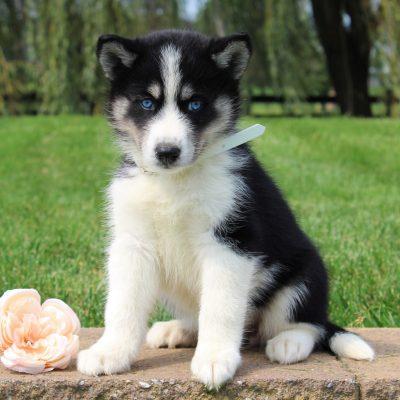 Bailey - Husky/Samoyed Mix puppy for sale near Gordonville, Pennsylvania