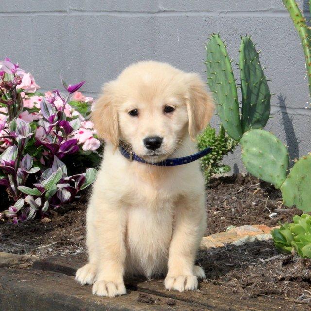 Barbie - Golden Retriever pup for sale at Christiana, Pennsylvania