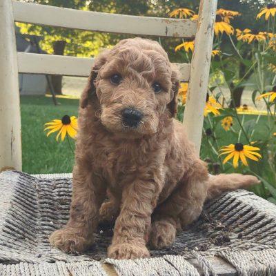 Baxter - male Multi Gen Mini Labradoodle puppie for sale in Paradise, Pennsylvania