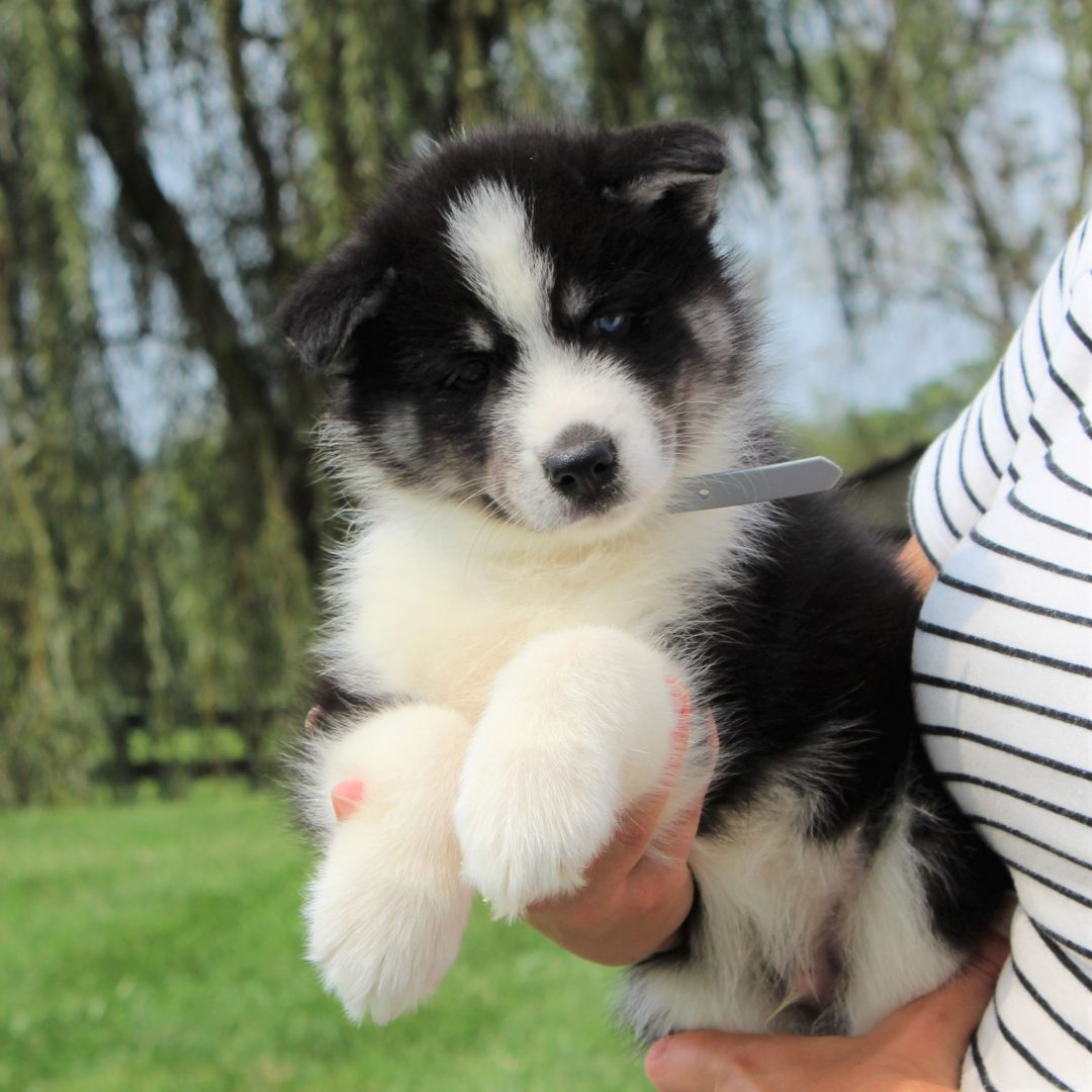 Baxter - Husky/Samoyed Mix puppie for sale in Gordonville, Pennsylvania