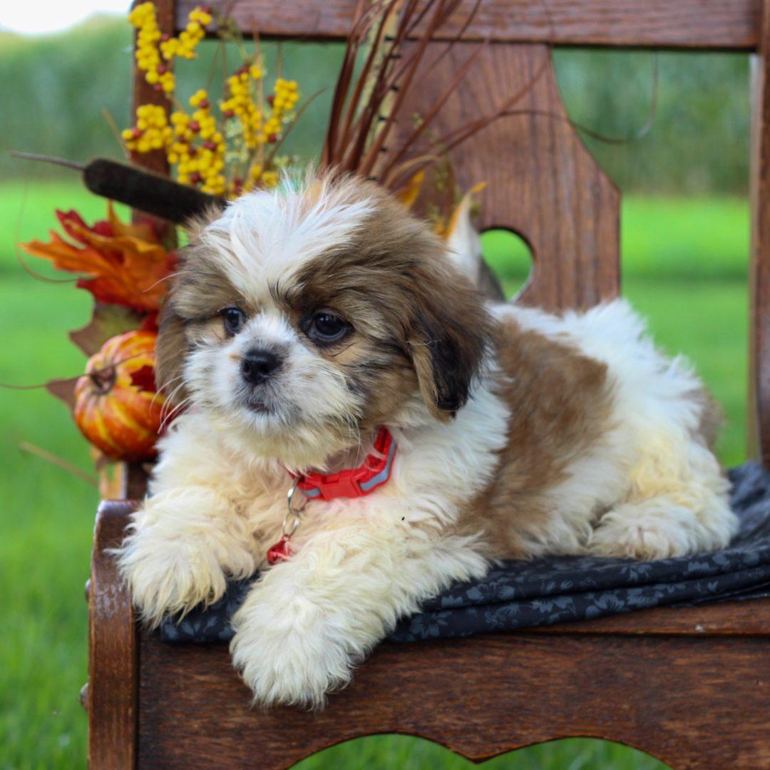 Baxter - ShihTzu male puppy for sale at Gordonville, Pennsylvania