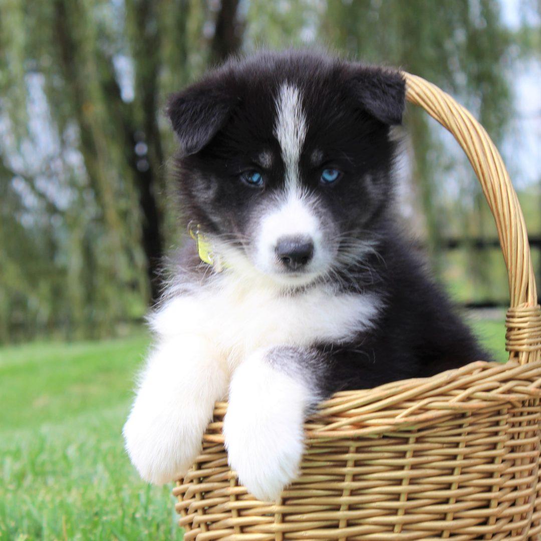 Bella - female Husky/Samoyed Mix pup for sale in Gordonville, Pennsylvania