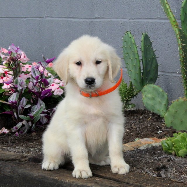 Bella - Golden Retriever puppie for sale in Christiana, Pennsylvania