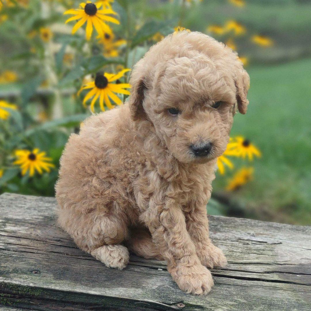 Benson - Multi Gen Mini Labradoodle doggie for sale at Paradise, Pennsylvania