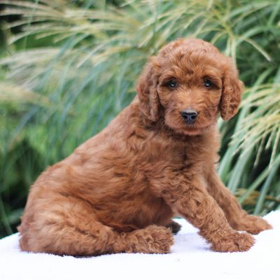 Bently - F1 Standard Irish Doodle puppy for sale at Kinzers, Pennsylvania