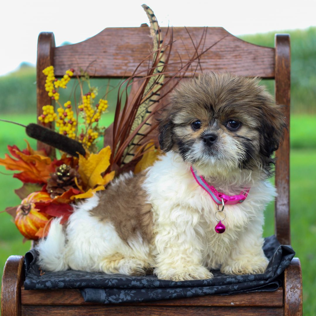Blair - female ShihTzu pupper for sale at Gordonville, Pennsylvania